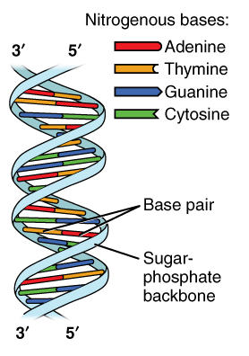 what are the three parts of a nucleotide albert io rh albert io DNA Model Label Each Material and the Part of the DNA Molecule It Represents DNA Parts and Functions