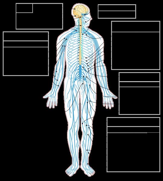 Organ Systems Ap Biology Crash Course Review Albert