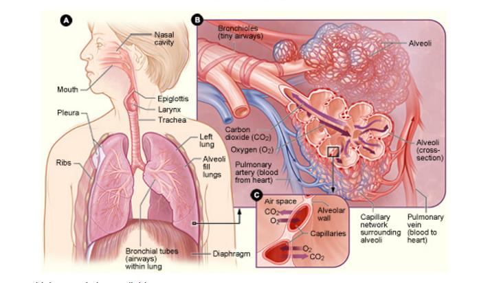 Organ systems ap biology crash course review albert respiratory system publicscrutiny Choice Image